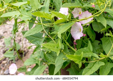Convolvulus arvensis or field bindweed with space for text. Beautiful flowers of european bindweed or convolvulaceae