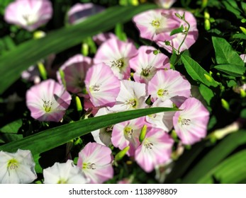Convolvulus arvensis pink and white wild flowers close up