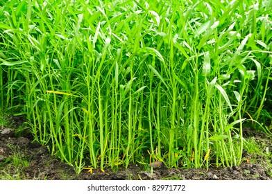 convolvulus food vegetable in the garden