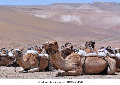 Convoy of Camels rest during a desert voyage in the Judaean Desert, Israel. No people. Copy space