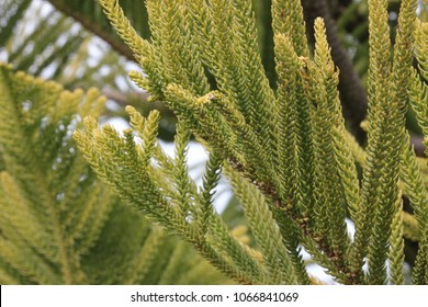 Cook pine, Coral reef araucaria, Araucaria columnaris, narrowly conical evergreen tree with spirally arranged overlapping needle shaped leaves and egg shaped seed cones