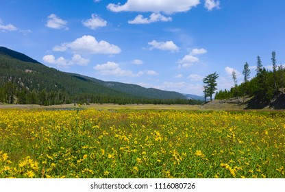 Cooke City, Montana, USA - Wild flowers in bloom  in summer flanked by pine woodland and mountain ridges in Yellowstone National Park, Montana, USA.