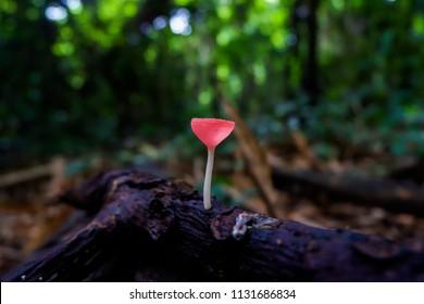 Cookeina tricholoma mushroom on log