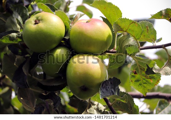 Cooking apples growing on a tree