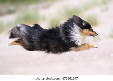 Cool active shot of black white and sable tricolor Shetland sheepdog, sheltie on a beach. Fast running, flying fluffy small collie, little lassie dog running full speed outside on a sandy beach