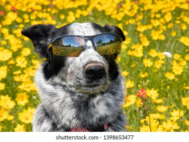 Cool black and white dog wearing shades on a sunny day, with a bright yellow spring flower background