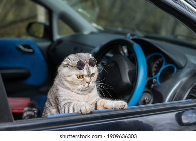 A cool cat with dark glasses looks out of the car window. Funny cat in the car.