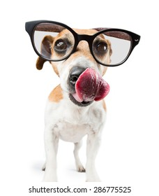 Cool dog with glasses is looking to the camera  licking nose and showing tongue