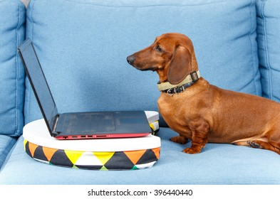 Cool dog looking in notebook screen on the sofa