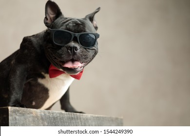 cool french bulldog wearing sunglasses sitting and staring at camera on gray background