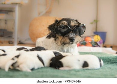 Cool Jack Russell Terrier dog with puppies - doggies 6 days old