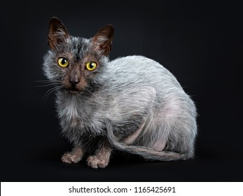 Cool Lykoi werewolf cat laying down side ways looking beside camera lens, isolated on black background
