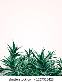 Cool minimal nature design with aloe vera plant in pastel and green color. Creative contemporary and trendy background layout.