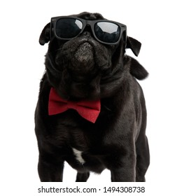 Cool pug bravely looking forward while wearing a pair of sunglasses and a red bowtie, standing with its mouth closed on white studio background