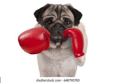 cool pug dog boxer punching with red leather boxing gloves, isolated on white background