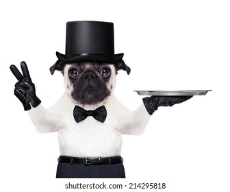 cool pug with gloves and black hat holding an empty service tray ,fingers in peace or victory gesture