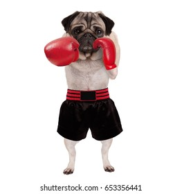 cool standing pug dog boxer punching with red leather boxing gloves and shorts, isolated on white background