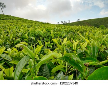 cool tea plantation