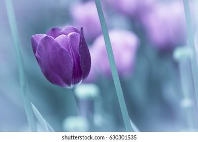 cool tulip