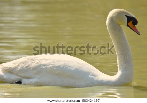 Cool White Goose floating in Water