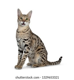 Cool young adult Savannah F1 cat, sitting side ways. Looking beside camera with green eyes. Tail behind body. Isolated on white background. Mouth open, panting , showing tongue.