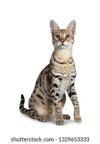 Cool young adult Savannah F1 cat, sitting half side ways facing front. Looking beside camera with green eyes. Isolated on white background. One paw lifted from ground. Tail behind body.