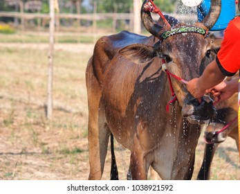 Cooling down brown cow with water