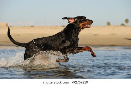 Coonhound dog outdoor portrait at beach running through water