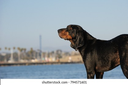 Coonhound dog outdoor portrait at beach with city in background