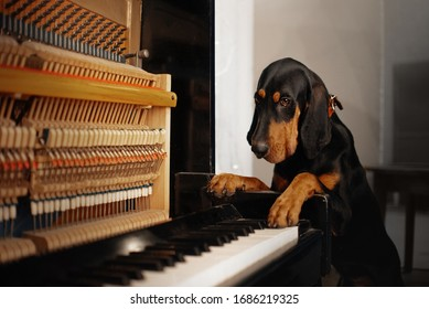 coonhound dog posing by a piano indoors
