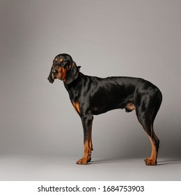coonhound dog standing on grey background in the studio