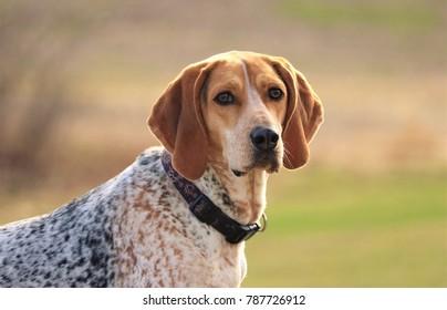 Coonhound hunting dog