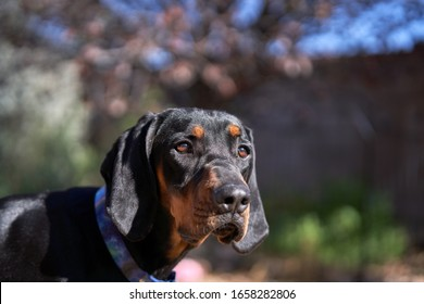 Coonhound Puppy Closeup in front of tree