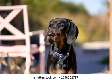 Coonhound Puppy Looking past camera