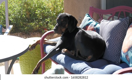 Coonhound Puppy Lounging on Red Bench