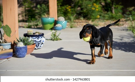 Coonhound Puppy playing fetch with tennis ball