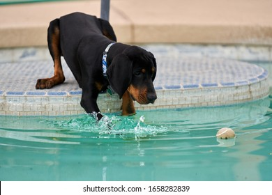 Coonhound Puppy Playing In Pool