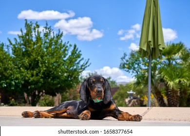 Coonhound Puppy Relaxing By The Pool