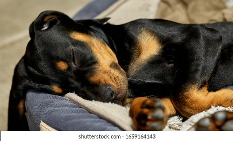 Coonhound Puppy taking a nap on a soft dog bed