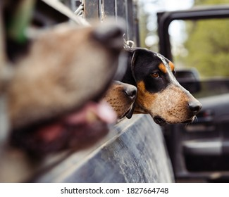 Coonhound waits eagerly for hunter to return to vehicle