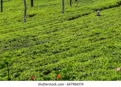 Coonoor, India - January, 25th, 2017 Tea field in Coonoor, Tamil Nadu, India