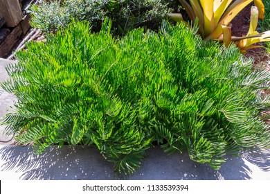 Coontie palm (Zamia pumila) cycad plant, green - Davie, Florida, USA