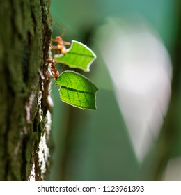 Cooperation, team play, team spirit, team work, addiction, hard-work, agility are the perfect nouns for Leafcutter ants workers (Atta cephalotes), which bring plant parts back to the colony.