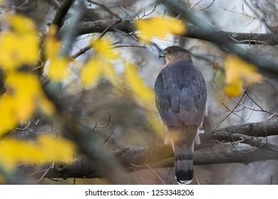Cooper's hawk (Accipiter cooperii) in autumn