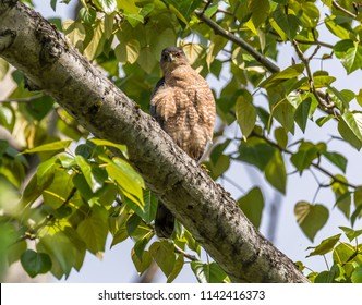 Cooper's hawk (Accipiter cooperii) perched in a tree in spring intensely staring at the viewer at Magnuson Park, Seattle.