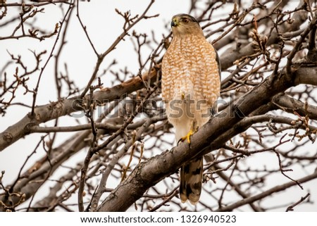 A Coopers Hawk Accipiter
