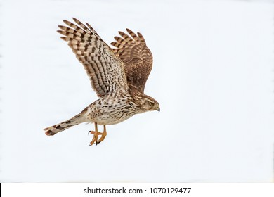 A Cooper's Hawk (Accipiter cooperii)  visits a backyard garden