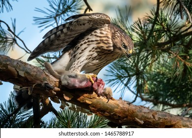 Cooper's Hawk eating a bunny up in a tree. Colorado, USA.