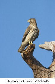 Cooper's Hawk looking over shoulder on large tree branch with blue sky background