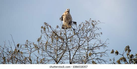 Coopers Hawk perched in the top of a tree